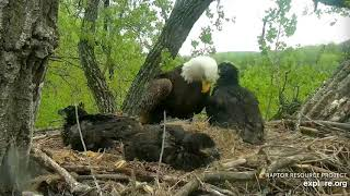 Decorah Eagles 5 19 20, 5:30 pm D34 getting beaky with Mom