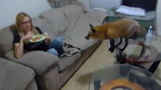 Red fox behaving around pizza