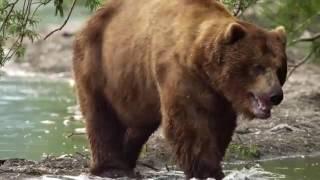 «Медведи Камчатки  Начало жизни»  Тизер