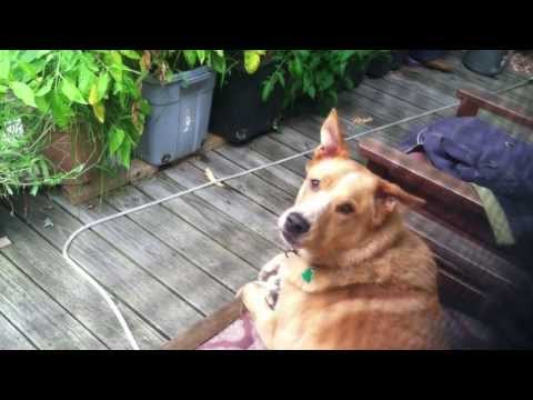 Cecil The Dog Hears Different Wolves Howling And Nails The Responses!