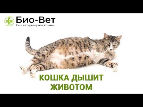Кошка дышит животом - Причины и Что Делать // Сеть Ветклиник Био-Вет