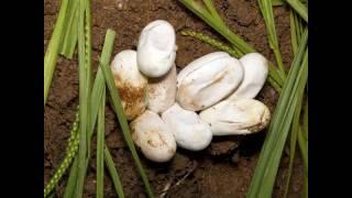 Ninho De Cobras | Snakes Nest