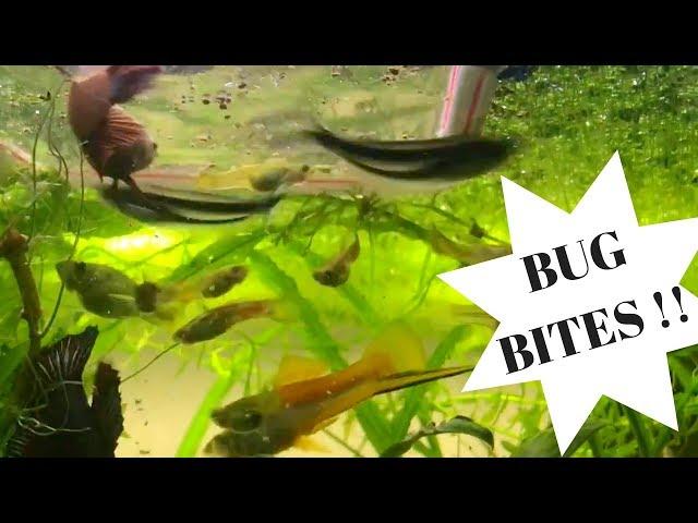#FluvalBugBites Fish Food Feeding Frenzy Contest Entry; Fluval Bug Bites Tropical Fish Food