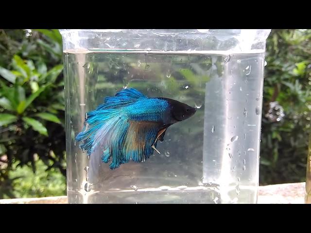 BETTA FISH IN TRIVANDRUM