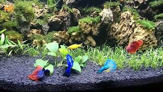 4 Male Betta Fish in One Fish Tank | Just an experiment under my control