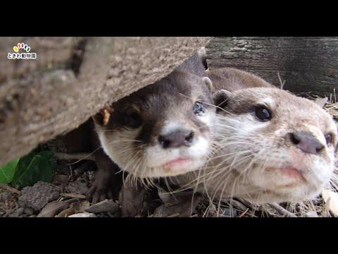 世界カワウソの日特別ガイド①生息環境展示編(World Otter Day)