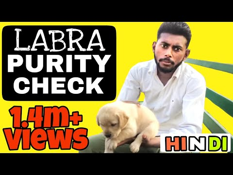 How To Check Labrador Puppy Purity In Hindi || Pure Labra || Pure Breed || Dog Training In Hindi