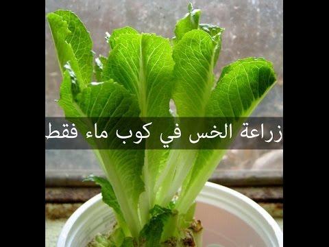 طريقة زراعة الخس من خسة عادية و كوب ماء فقط في 9 ايام !!