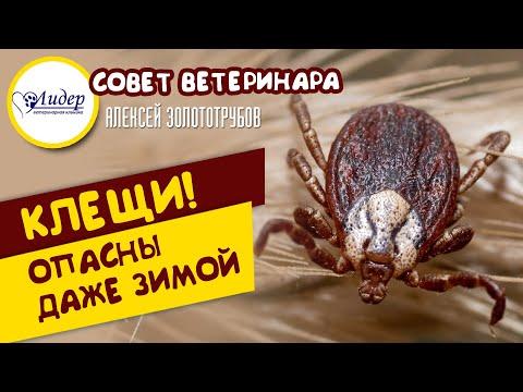 Клещи опасны даже зимой (Совет ветеринара Алексея Золототрубова)
