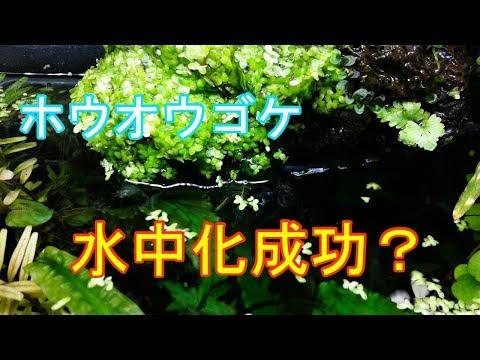 【アクアリウム】60cmスリム水槽 #66 ホウオウゴケ水中化成功?