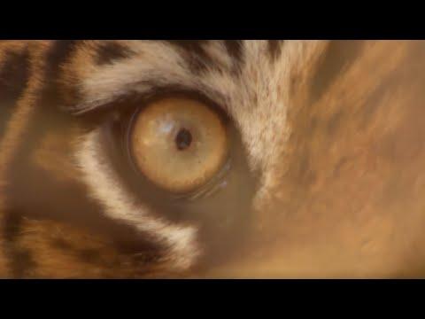 Top 5 Tiger Moments   Part 2   BBC Earth