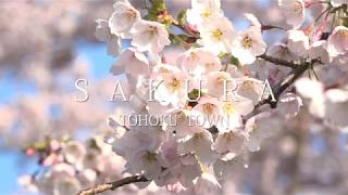 小川原湖の千本桜
