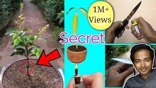 How To Graft And Grow Mango In Pot | Mango Bonsai