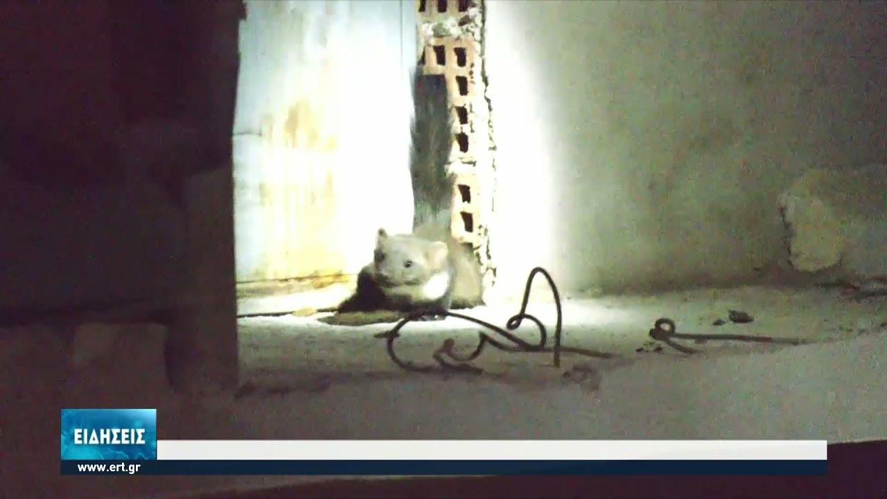 Εισβολή μινκ στην Κοζάνη | 08/07/2021 | ΕΡΤ
