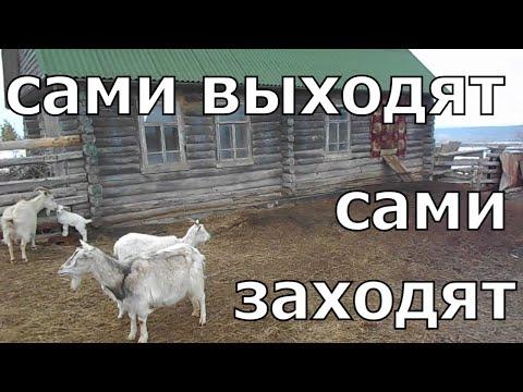 Зимнее содержание коз. Выгул