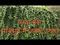 Curtain vine / Privacy vine Growing method // Green wall concept natural vine