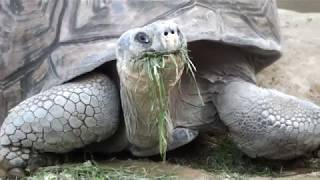 Giant tortoise eating grass.Ueno Zoological Gardens.草を食べるゾウガメ。上野動物園。
