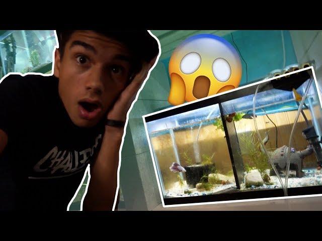 2 Betta Fish in ONE TANK !