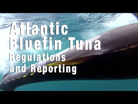 Atlantic Bluefin Tuna Fishing: Regulations and Reporting