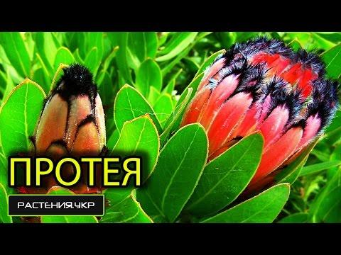 ПРОТЕЯ - Экзотическое и редкое растение / цветы комнатные
