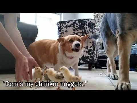 This Adorable Corgi Is a Full-Time Foster Mom