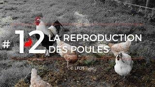LA REPRODUCTION DES POULES │LFDT #12