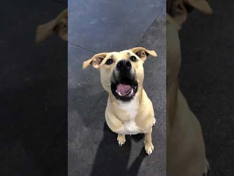 Andey, an adoptable Hound & Labrador Retriever Mix in Alpharetta, GA