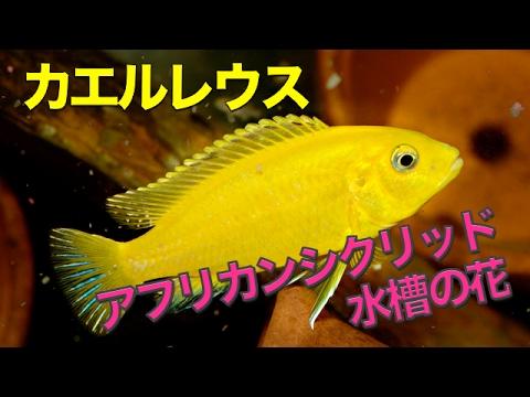 【熱帯魚・アフリカンシクリッド】ラビドクロミス・カエルレウス  (Aqupedia)