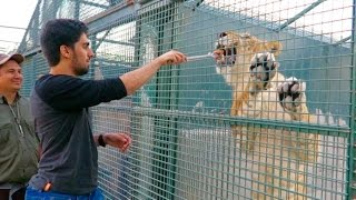 Feeding My Friends LION !!!
