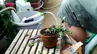 クチナシ葉刈り・整枝BONSAI盆栽