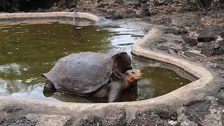 Galapagos tortoise saves species from extinction