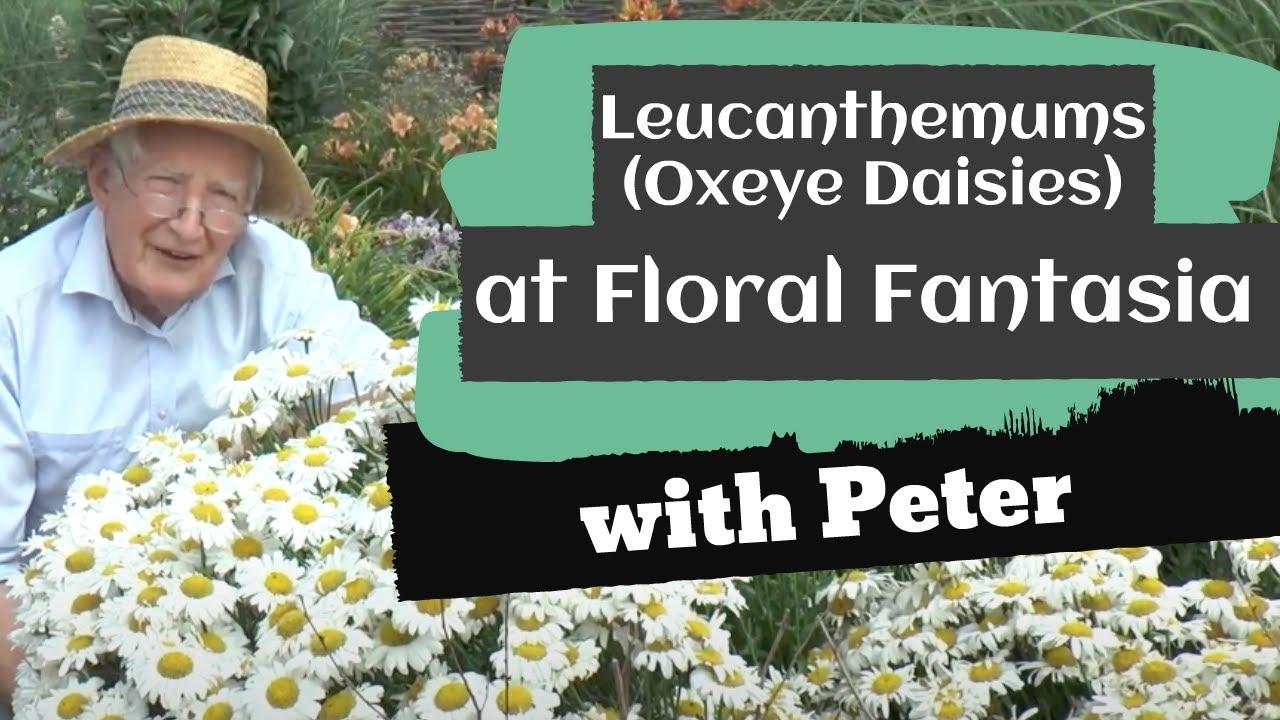 Leucanthemums (Oxeye Daisies) at Floral Fantasia