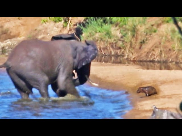 'n Kwaai olifant probeer seekoeie uit 'n rivier naby Shingwedzi in die Krugerwildtuin verdryf. Dan pyl die olifant op 'n…
