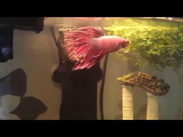 My betta fish swimming around in his tank