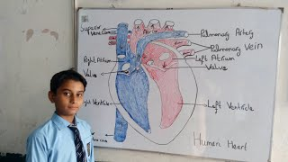 Biology human heart most popular videos easy way to draw heart structure by 5 steps how to draw heart easy way diagram ccuart Image collections