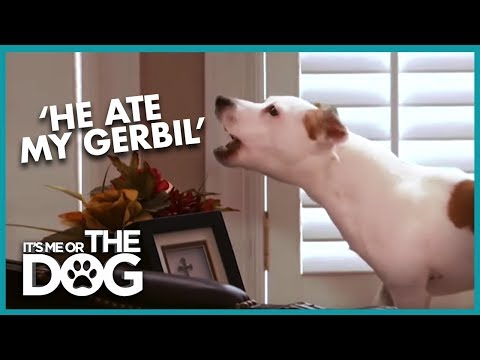 The Most Hyperactive Jack Russell You've Ever Seen | It's Me or the Dog