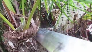How to Revive a Palm Tree you think is Dead!