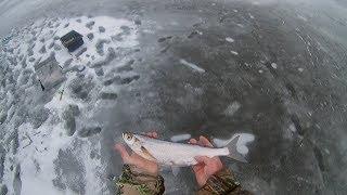 неожиданный бонус при рыбалке на берша на тюльку