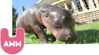 Harry The Baby Pygmy Hippo