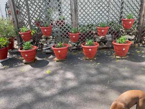 , title : 'Grow 200 Siberian Tomato plants