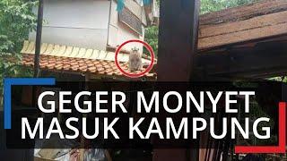 Geger Kemunculan Monyet Masuk Pemukiman Warga di Bogor, Bikin Resah Ibu-ibu hingga Rusak Perkebunan
