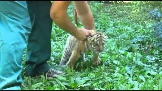 Первая прогулка тигренка