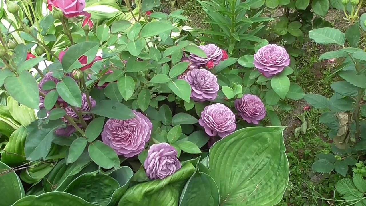 Роза Heidi Klum Rose