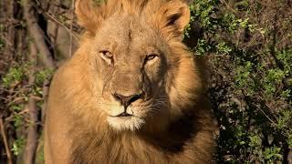 Afrique : à La Vie, à La Mort | Extrait : La Chasse Du Lion