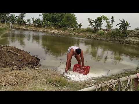तालाब के पानी की सफाई   Fish Farming   Pond Water Treatment