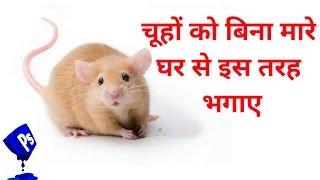 Run away from the house without killing the rats, चूहों को बिना मारे घर से इस तरह भगाए