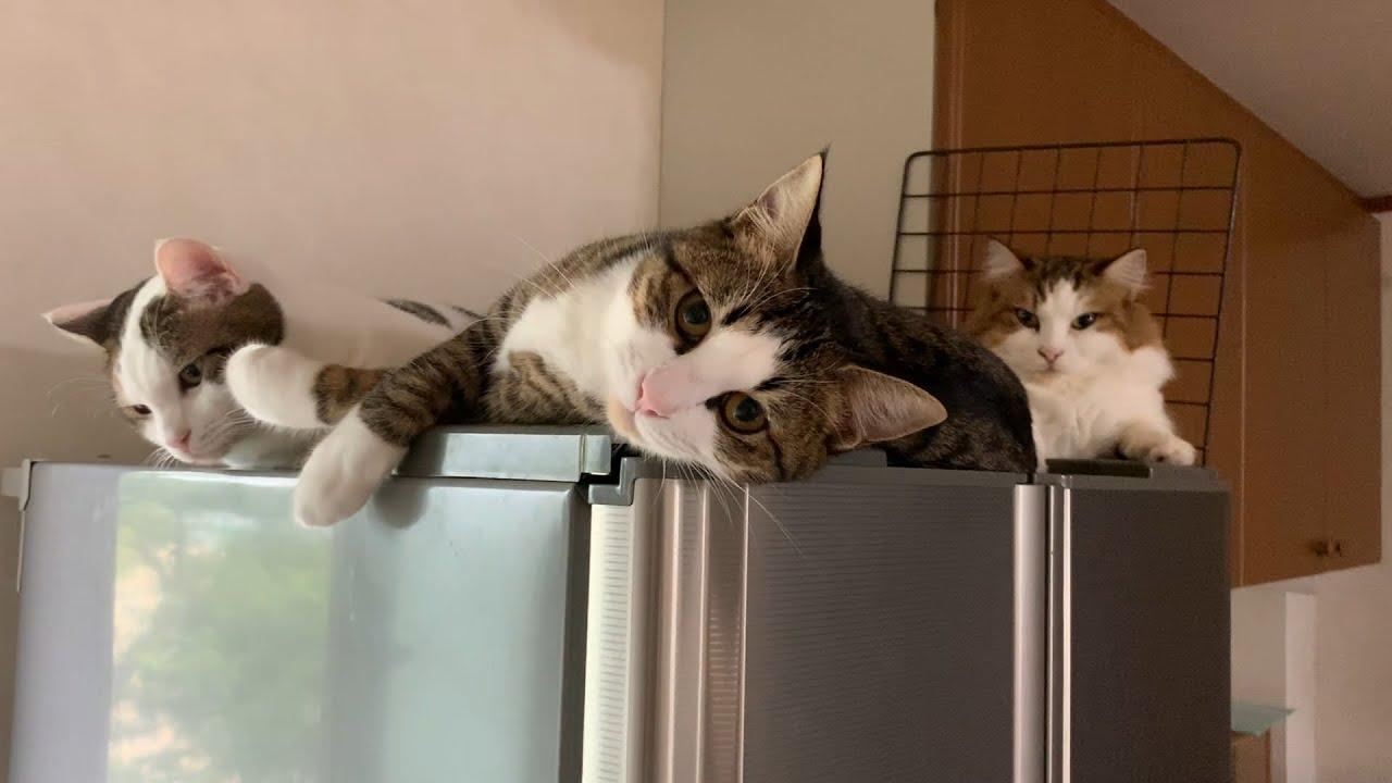 1日のほとんどを冷蔵庫の上で過ごす猫 #猫 #cat #ほとんど #冷蔵