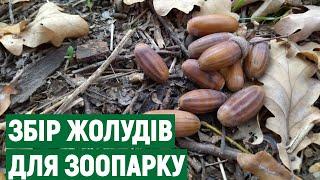 Николаевцы собрали для питомцев зоопарка более 50 кг желудей
