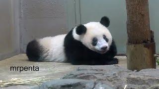 今日のシャンシャン7月25日上野動物園香香パンダ
