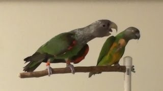 Cape Parrot Tries to Steal Nut from Senegal Parrot